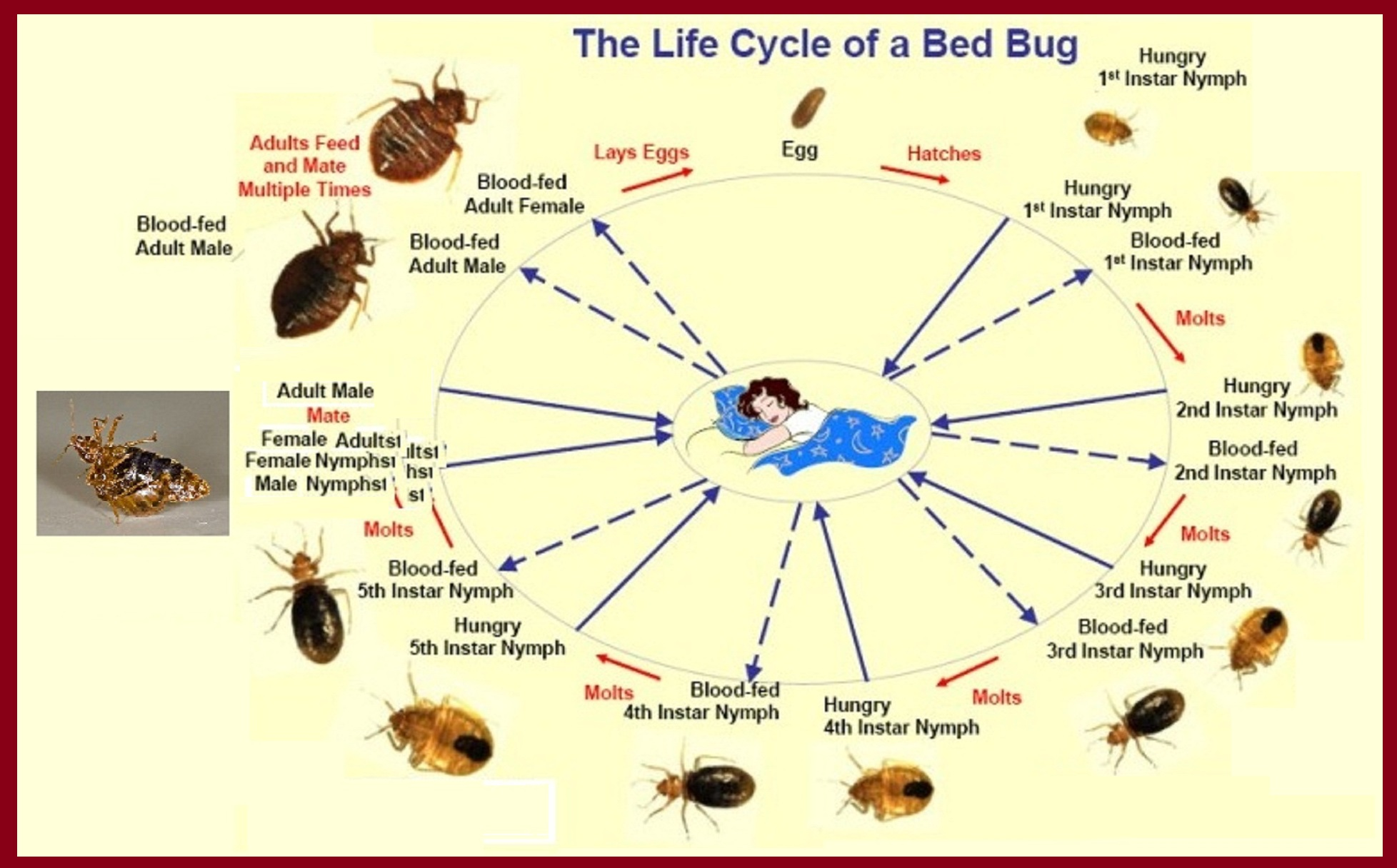 bedbug life cycle. Bedbug free   The CO2 Bedbug Trap